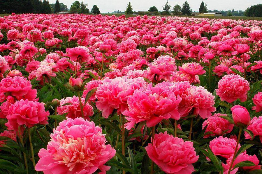 Фото в цветах: бордовый, розовый, темно-коричневый, коричневый. Фото в .