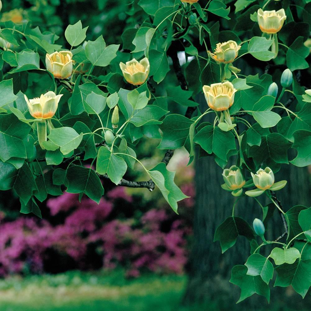 10 восхитительных деревьев для сада, которые можно попробовать вырастить в Подмосковье