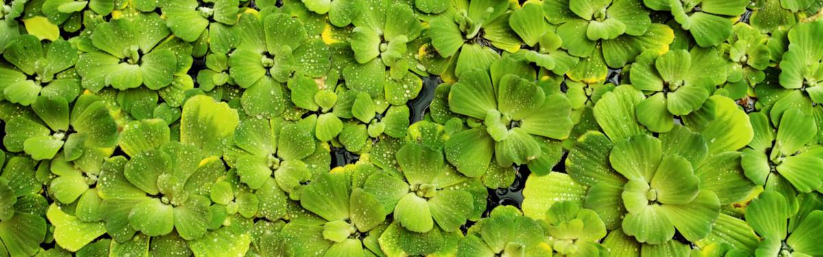 Водные растения для декоративного пруда: 10 обитателей красивого водоёма